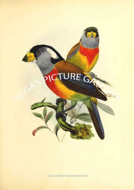 Fine art print of the TETRAGONOPS RHAMPHASTINUS by J G Keulemans (1871)